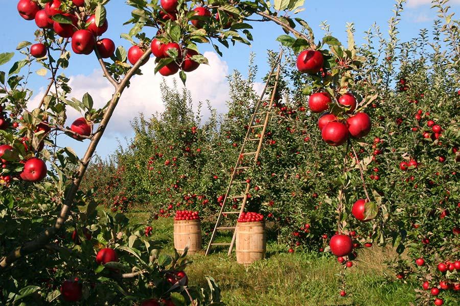 Microrganismi Effettivi per la cura degli alberti da frutto