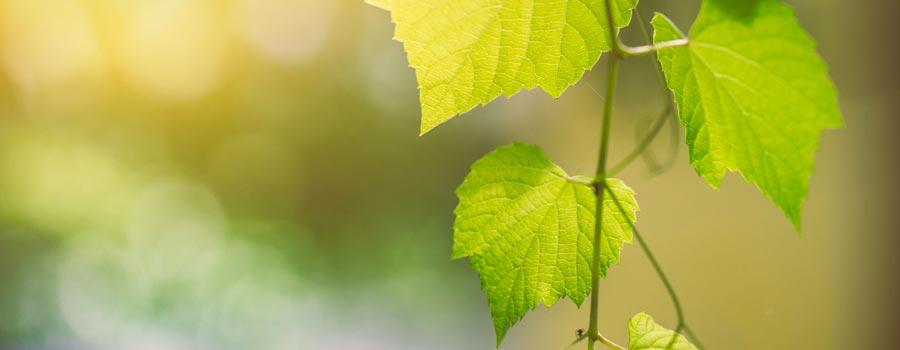 Microrganismi Effettivi in Viticoltura